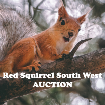 Red squirrel Escot