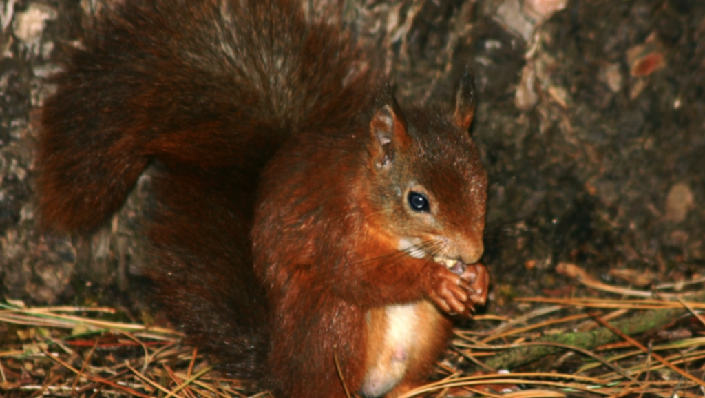 Red Squirrel Dinner - Silent Auction