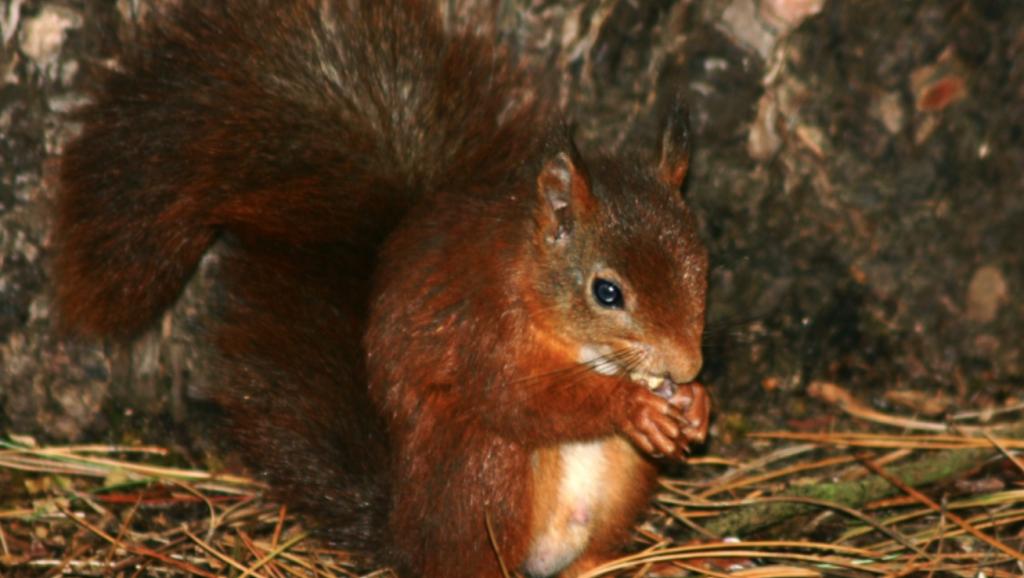 Red Squirrel Dinner - Silent Auction